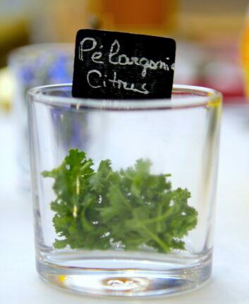 Pelargonium Citrus