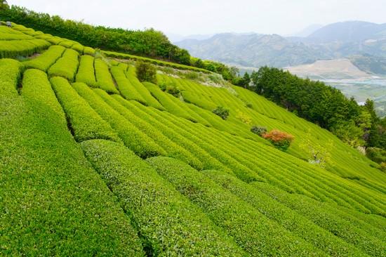 Plantation de thé vert ©Roberto Maxwell licence CC BY-NC-SA 20