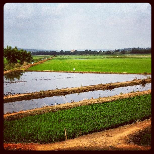 Dans les rizières - Arroz de Pals