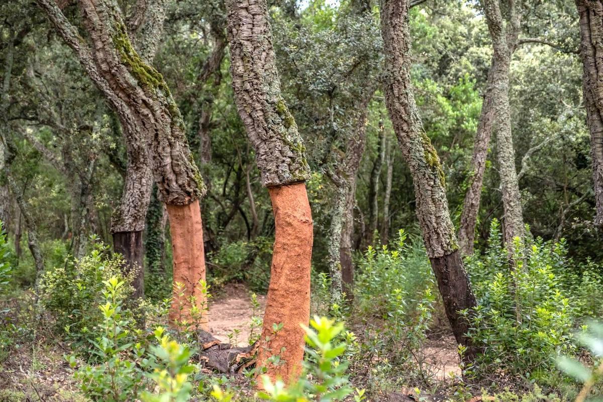 Chênes liège ©ICSuro