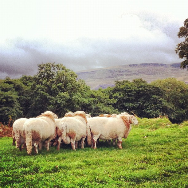 Welsh mountains south wales sheeps