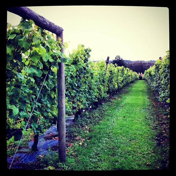 Et même qu'au pays de Galles il y a des vignes - incredibeule non ?