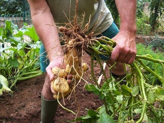 Arrachage de la pomme de terre – Photographie de Gilles Maitrot – 2e prix du concours photos 2011 La culture de la pomme de terre organisé par l'Association Pompadour Label Rouge