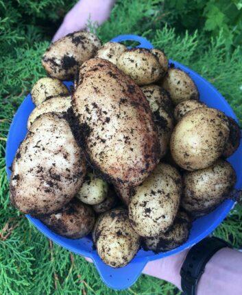 Pommes de terre Pompadour -