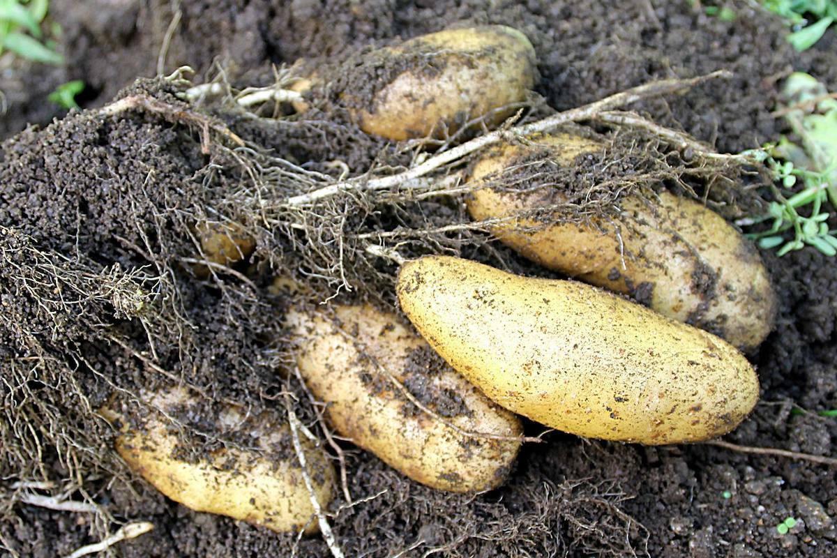 Pommes de terre Pompadour