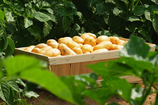 Pommes de terre Pompadour - Juste récoltées