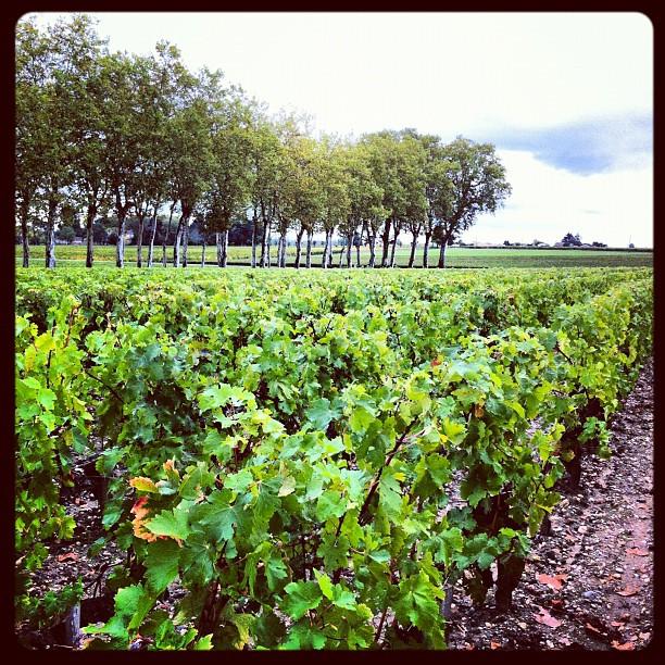 Château Margaux - les vignes