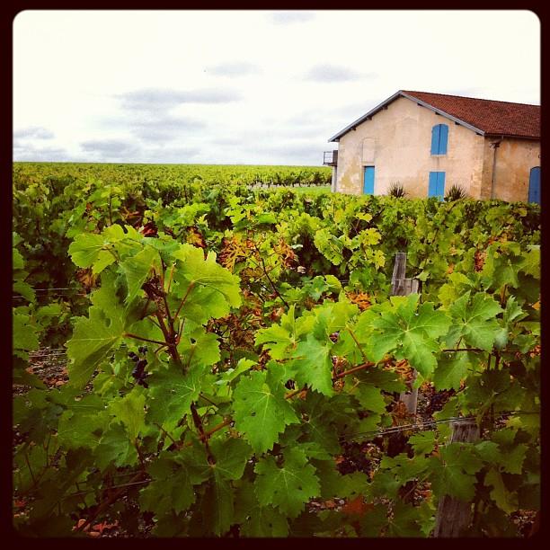 Château Kirwan - chaque pied de vigne produit 1/2 bouteille de vin #bordeaux