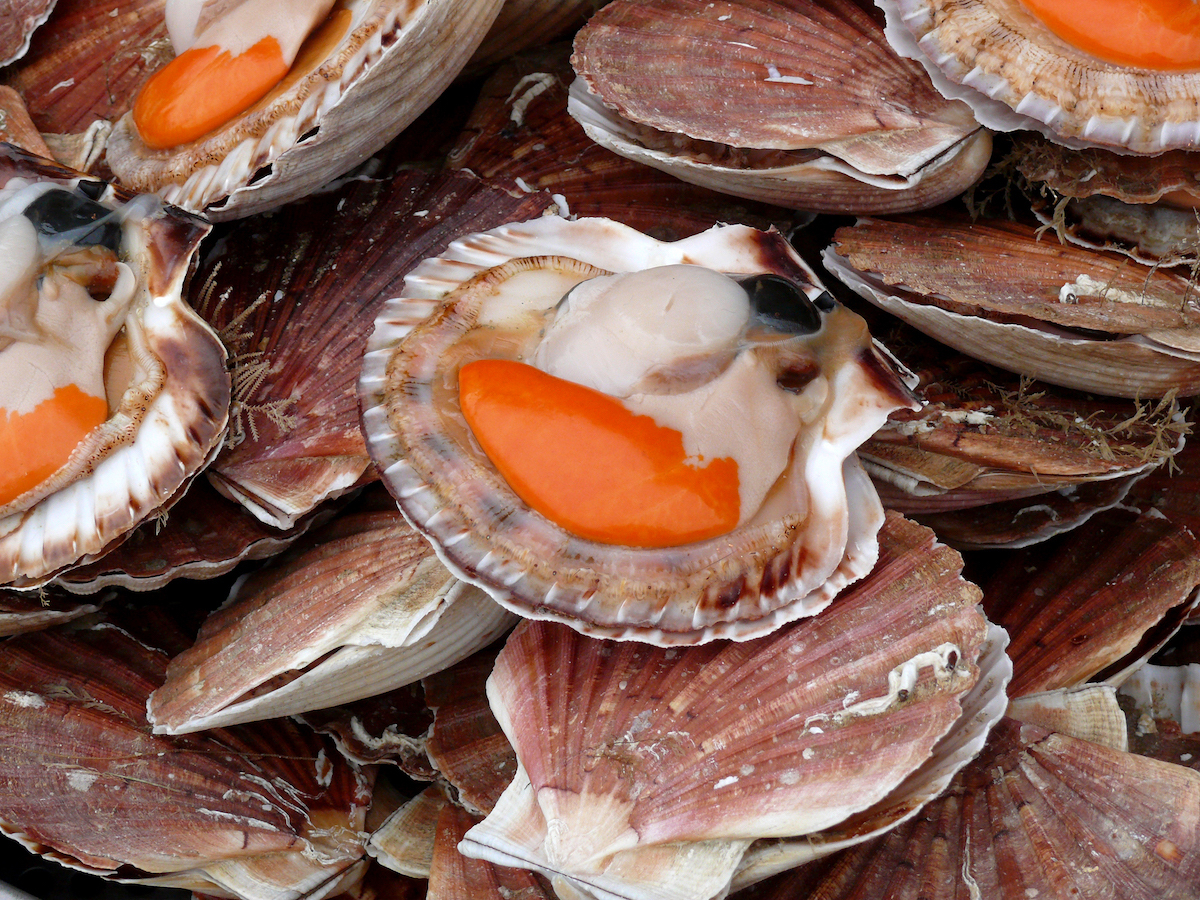 Coquilles Saint jacques (c) David Jones licence CC BY 2.0