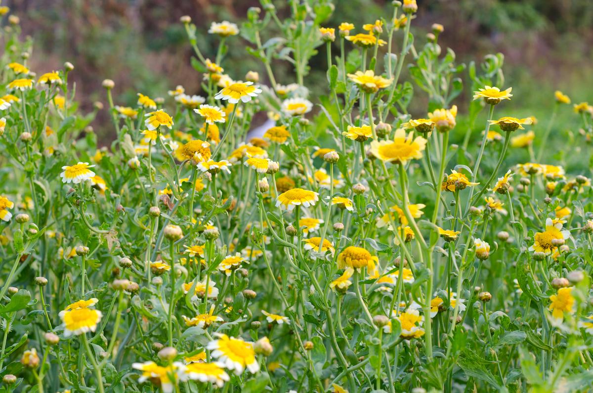 Fleurs de chrysanthème ©joloei shutterstock