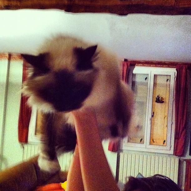 """On essaie les """"portés"""" avec le chat mais elle n'est pas super open #dals ^_^"""