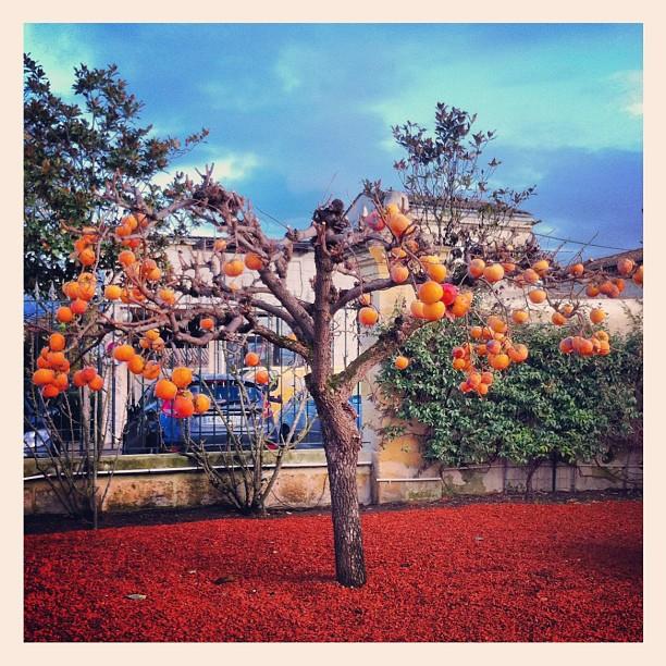 Plaqueminier - arbre à kakis
