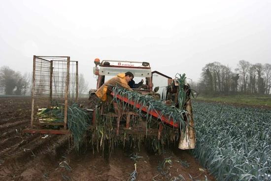 La récolte des poireaux ©Prince De Bretagne
