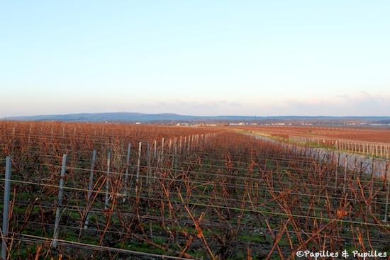 Vignes - Champagne - Coucher du soleil