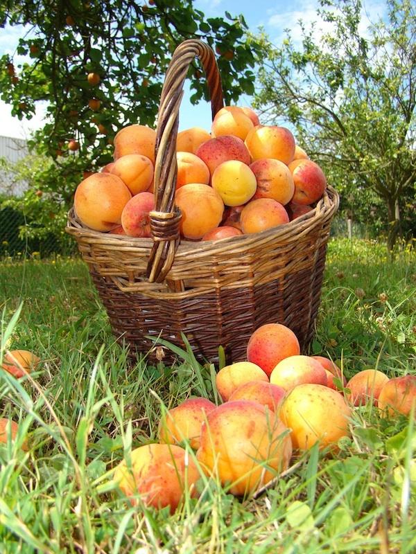 Abricots ©Photographdreamer - licence CC BY-NC-SA 2.0