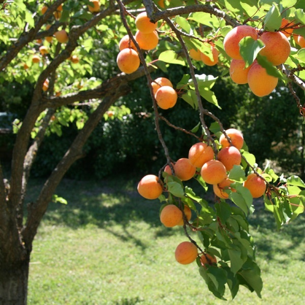 Abricots sur l'arbre ©couleurlavande CC BY-ND 2.0