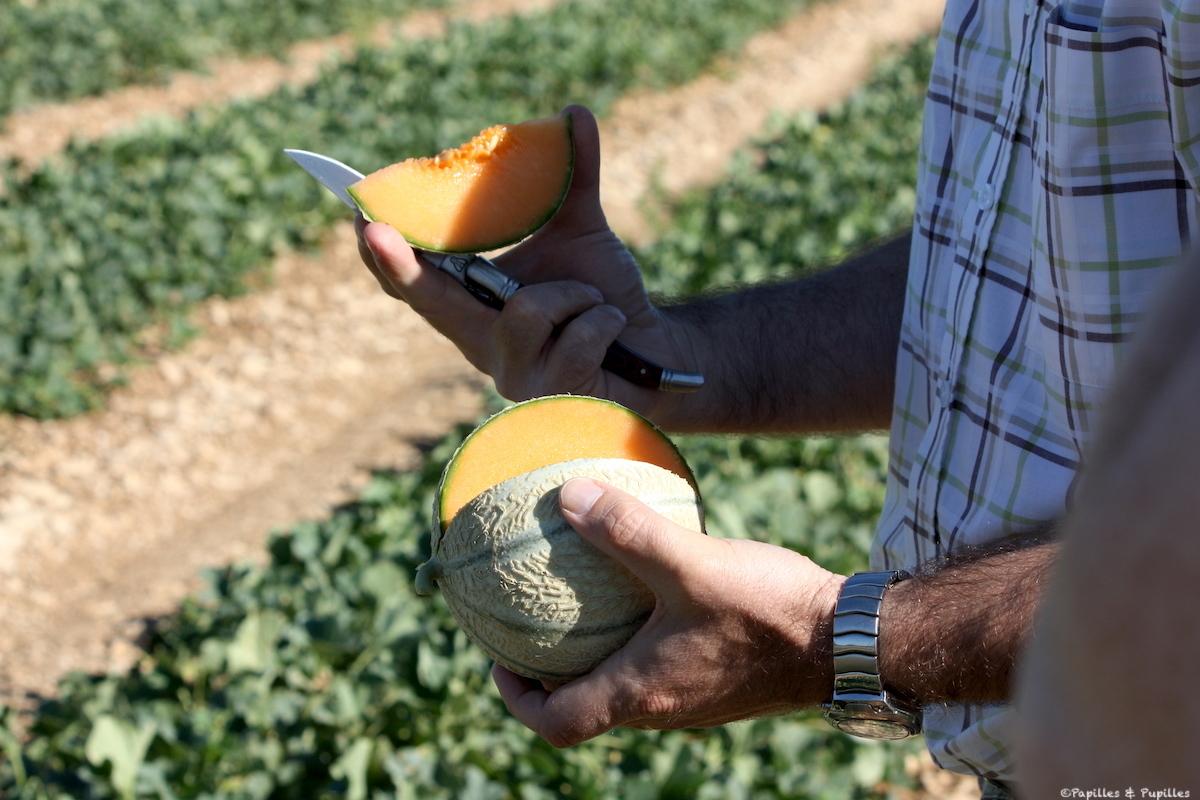 Melon dans le champ