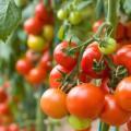 Tomates ©AHMAD FAIZAL YAHYA shutterstock
