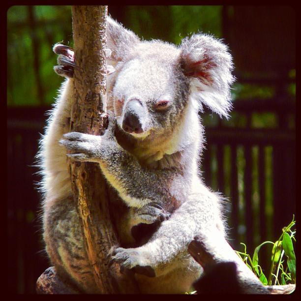 Koala - So cute #australia