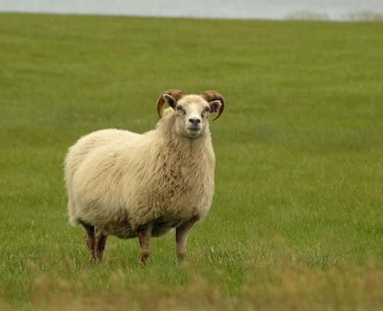 Moutons islandais ©Neil D'Cruze licence CC BY 2.0