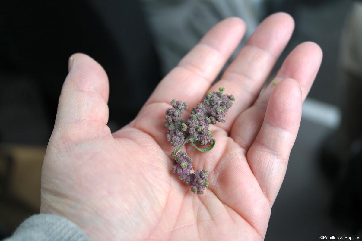 Quinoa dans la main