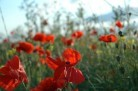 8 ans - Noces de Coquelicots © james.pratley licence CC BY 2.0
