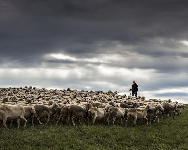 Brebis © Manuel huynn