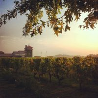 Sunrise, vineyard, Bordeaux, France