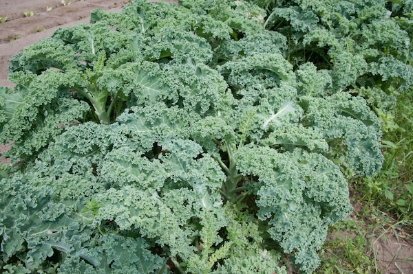 Kale ©PhotoFarmer licence CC BY 2.0