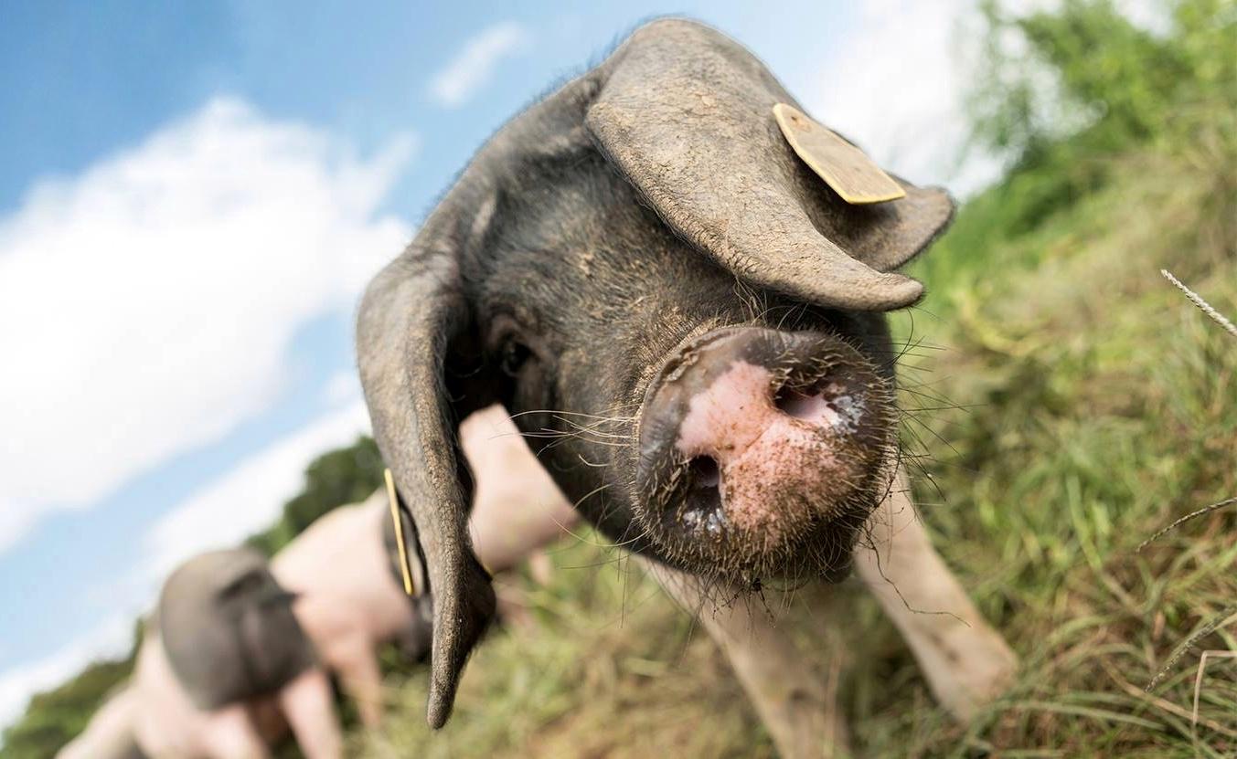 Porc Kintoa