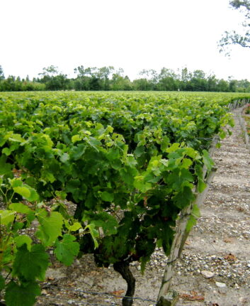 Vignoble Bordeaux ©Claude MARCHAND CC BY-NC-ND 2.0