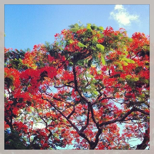 Flamboyant, île Maurice