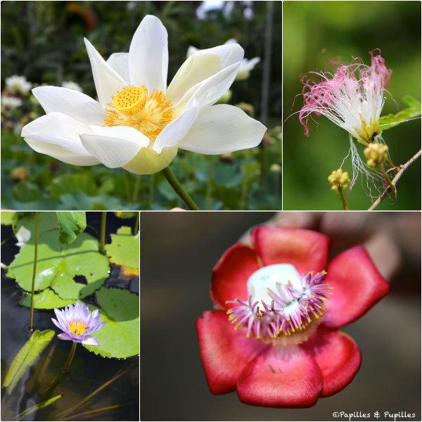 Les fleurs du jardin de Pamplemousses