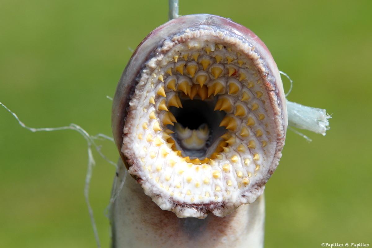 Bouche de la lamproie