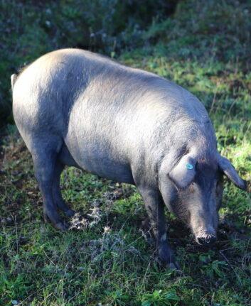 Cochon, Espagne