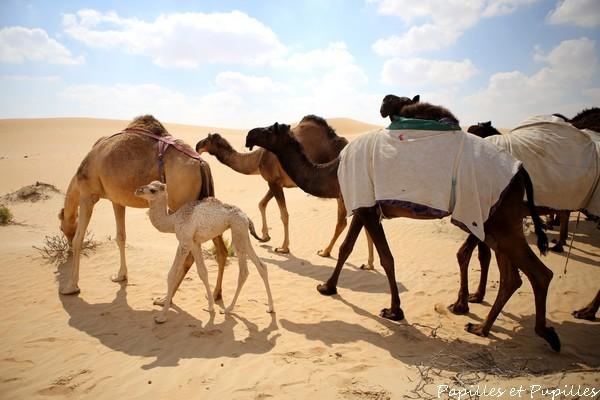 Les chameaux sont curieux