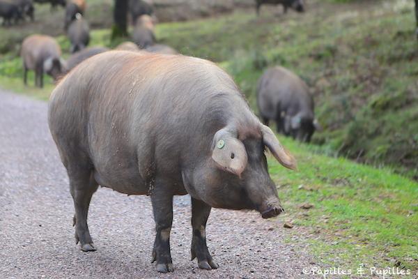 Porc race ibérique pure