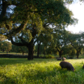 Porcs Ibériques Cinco Jotas