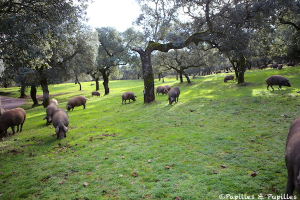 Porcs dans leur environnement naturel