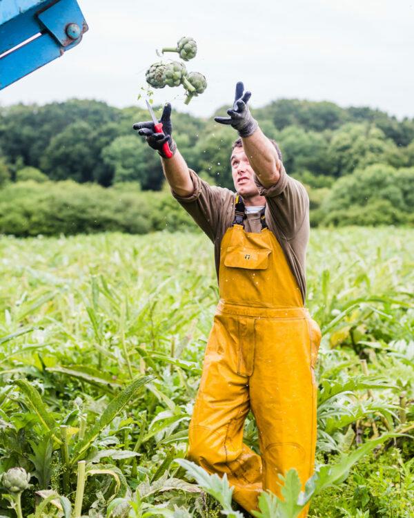 Récolte des artichauts ©L'oeil de Paco - Prince de Bretagne