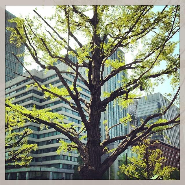 Gingko biloba - Tokyo
