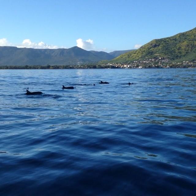 Les dauphins de l'île Maurice