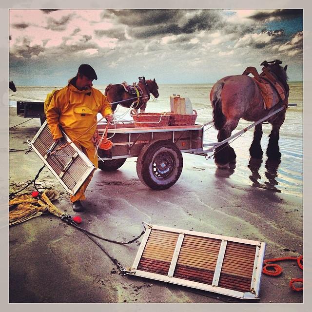 Pêche à la crevette avec des chevaux de trait (Brabençons) - Ostende - Belgique