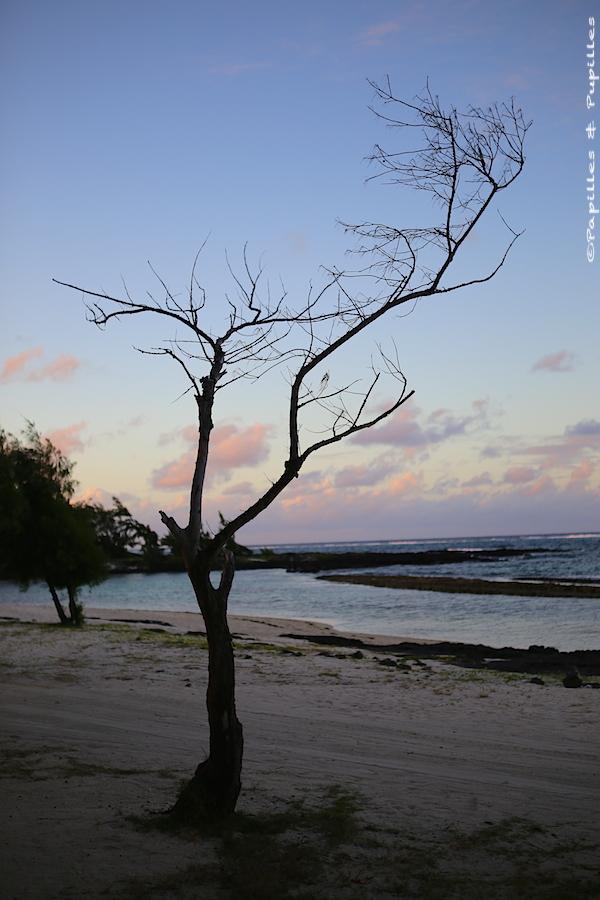 Arbre mort sur la plage - Ile Maurice