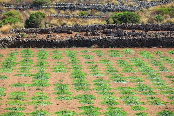 Plantation de câpres à Pantelleria - Sicile ©Bepsy - Shutterstock