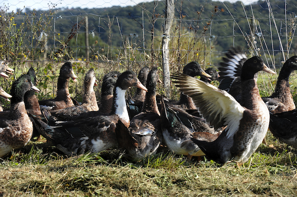 Le canard Picaillon