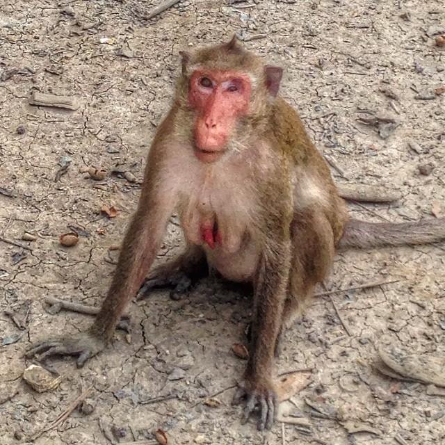 Le wonderbra pour singes n'existe apparemment pas