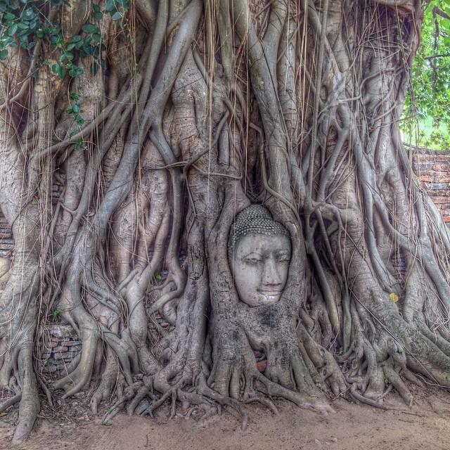 Tête de Bouddha enclavée danses racines d'un ficus - Ayutthaya, Thaïlande
