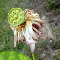 Fleur de lotus fanée