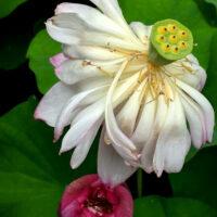 Fleur de lotus qui fane